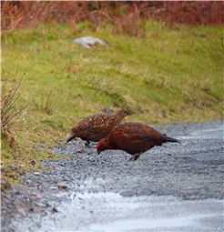 Red Grouse male and female March 2014