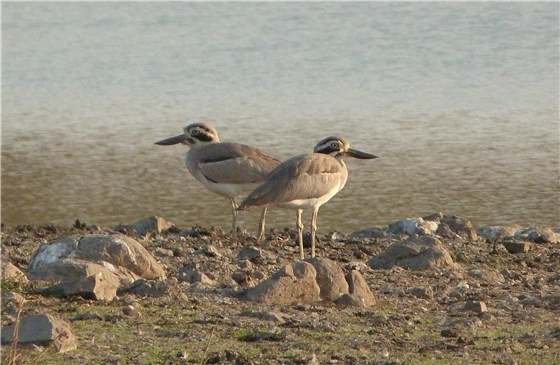 Great Thick Knee 1