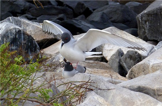 Swallow tailed Gull mating
