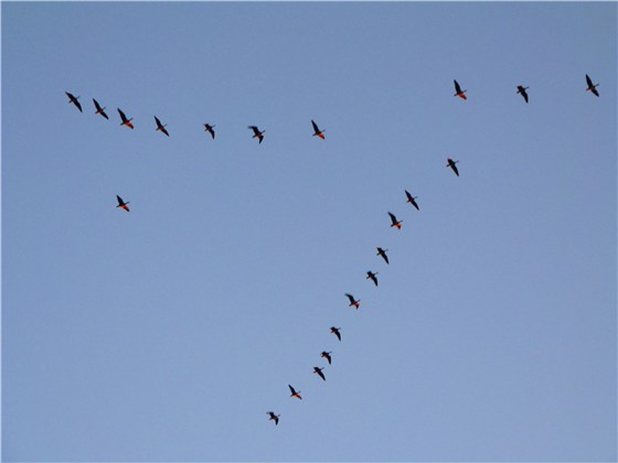 Skeins of Pink-footed Geese