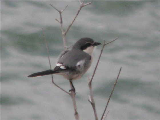 Southern grey Shrike 1