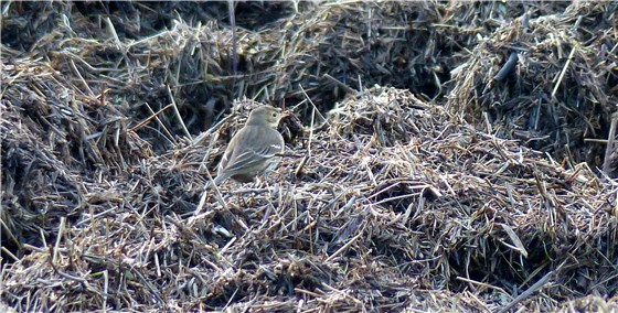 Buff bellied Pipit 5