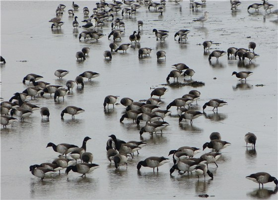 Brent Geese 3