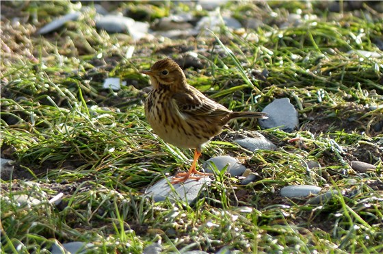 Meadow Pipit side view