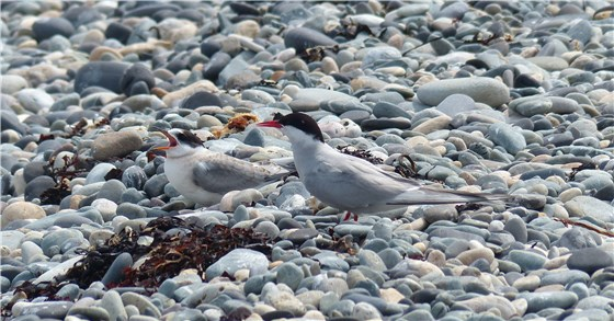 Arctic Tern and fledgling