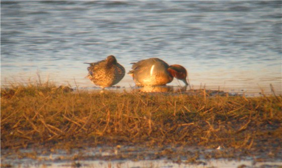 Green winged Teal Cley