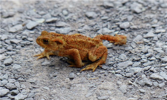 Toad Conwy