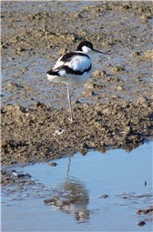 Titchwell Avocet