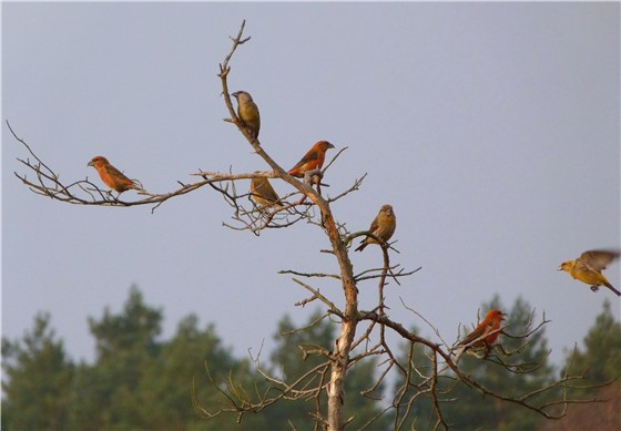 Crossbill flock on bog