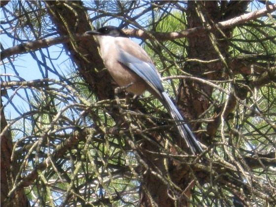 Azure winged Magpie 1