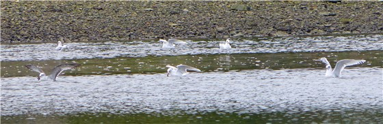 Med Gulls Four Mile Bridge Oct 2012
