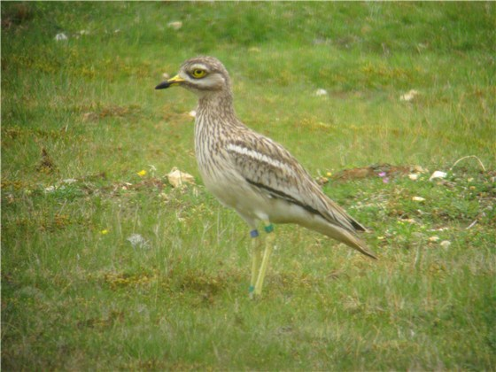 Stone Curlew adult