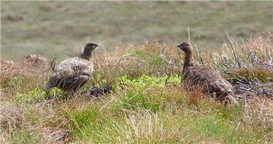 Red Grouse pair