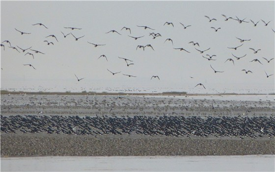 Snettisham waders 5
