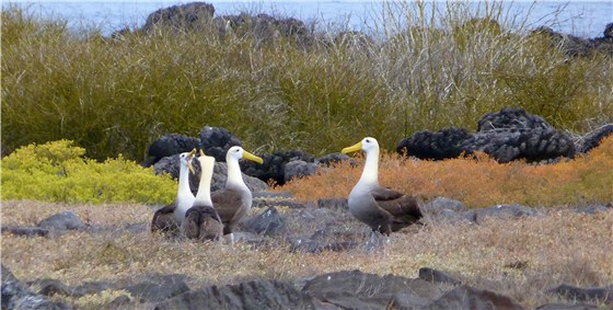 Waved Albatross group