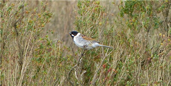 Reed Bunting Titchwell trim