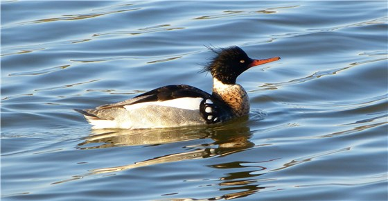 Red breasted Merganser drake