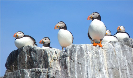 Puffins on lookout