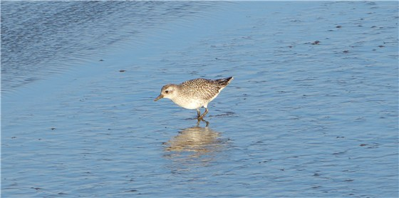 Titchwell Grey Plover