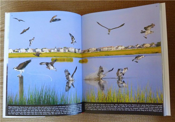 Crossley ID Guide Osprey 2 page spread