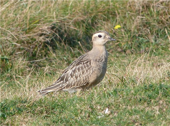 Dotterel 1 Great Orme