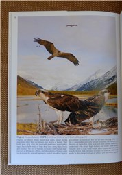 Crossley ID Guide Osprey single page