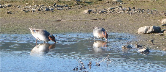 Teal at RSPB Conwy