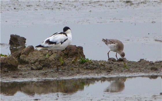 Avocet and Ruff