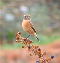 Stonechat on Anglesey