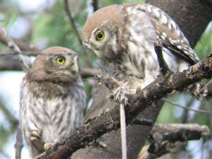 Pearl-spotted Owlets