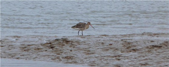 Black tailed Godwit Thornham