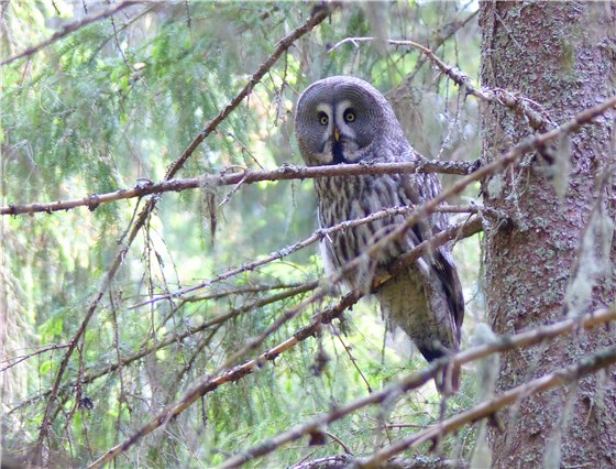 Great grey Owl 8