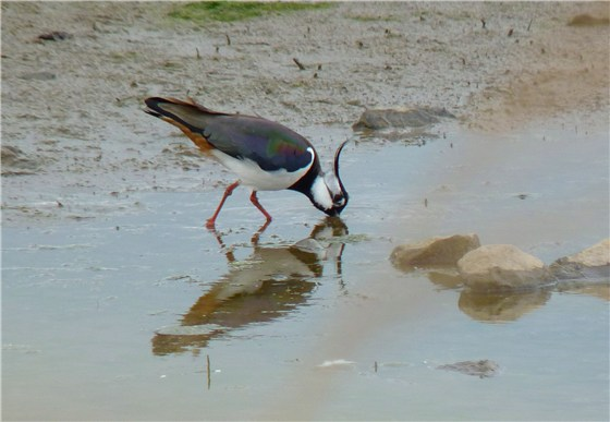 Lapwing male 1