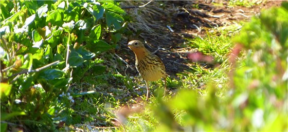 Red throated Pipit ground Norway