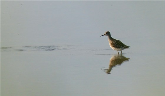 Wood Sandpiper july 2014 1