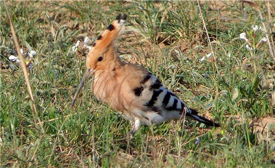 Hoopoe left 1