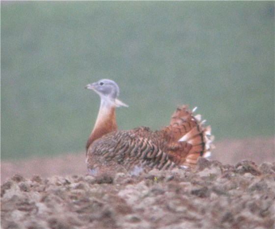Great Bustard 1