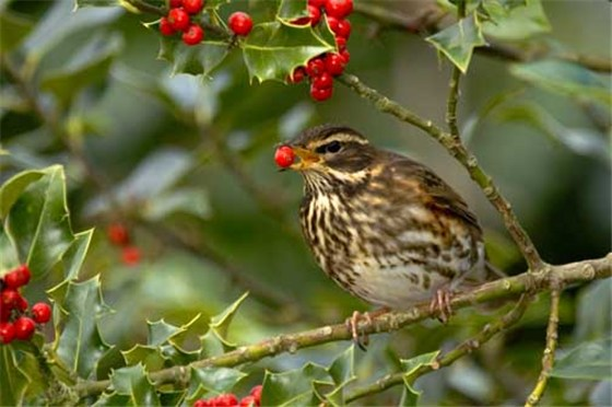 Redwing Great Orme