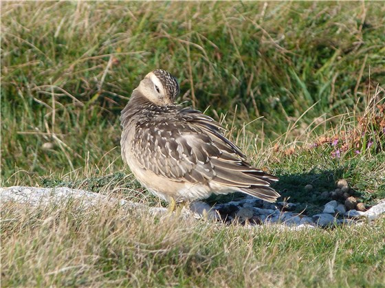 Dotterel 3 Great Orme