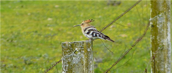 Hoopoe on post trim