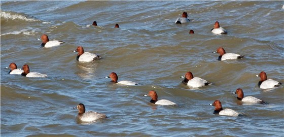 Pochard going left Welney