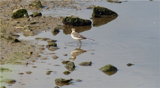 Citrine Wagtail Conwy 1