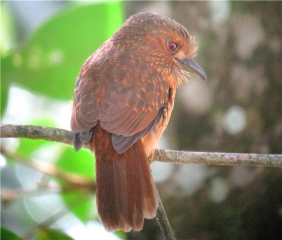 White whiskered Puffbird CR