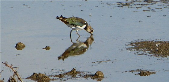 Norfolk Lapwing Titchwell