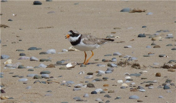 Ringed Plover at Gronant