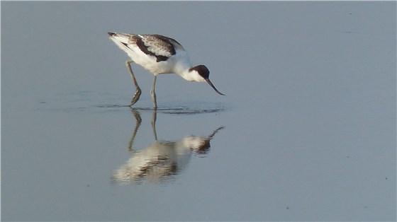 Avocet juv July 2014