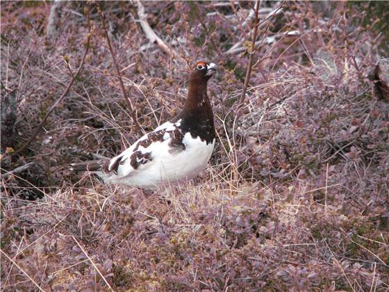 Willow Grouse 1